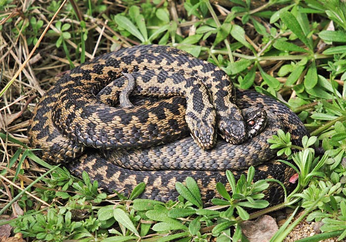 Courting Adders (Vipera berus)