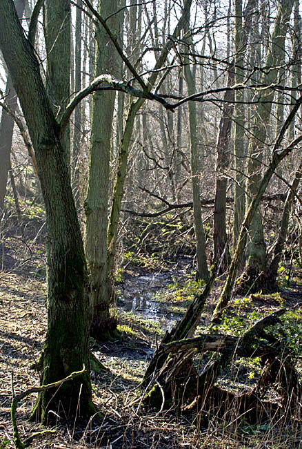Alder carr is a valuable habitat found in wet or waterlogged areas