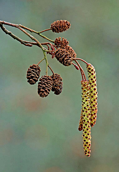 Alder (Alnus glutinosa) showing fruits and male catkins