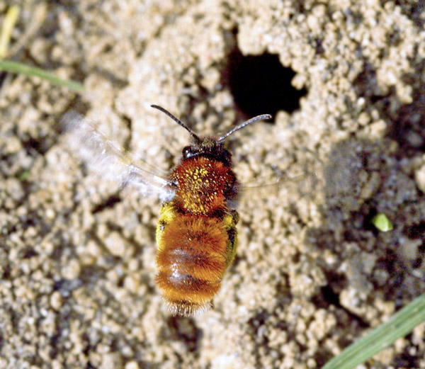 A stunning female Andrena fulva in flight above her burrow