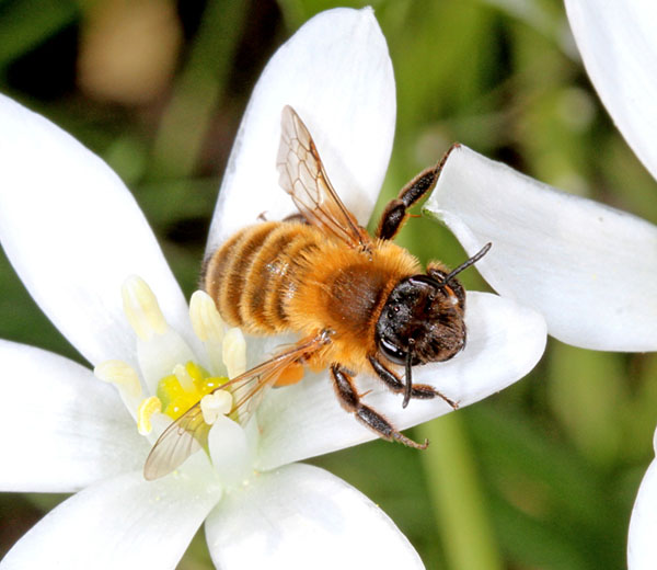 Star-of-Bethlehem flowers can attract plenty of solitary bees, including this very fresh female Andrena nigroaenea