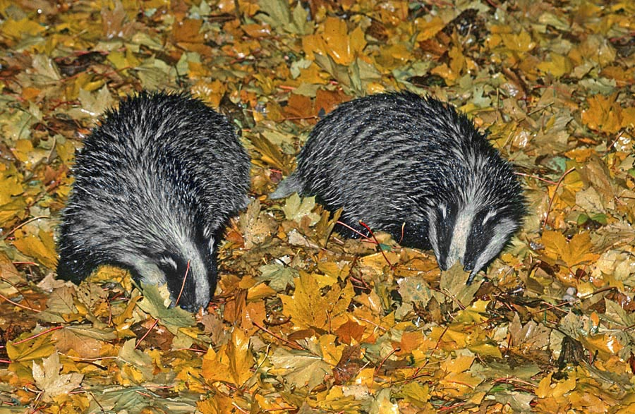 Badgers (Meles meles) are one of the glories of our woodlands
