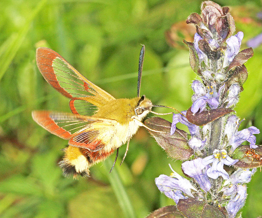 Broad-bordered Bee Hawkmoth (Hemaris fuciformis) taking nectar from bugle