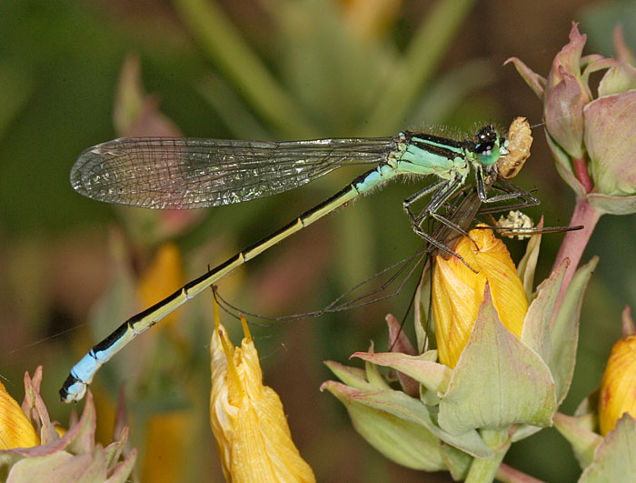 Blue-tailed Damselfly (Ischnura elegans) feeding on crane fly