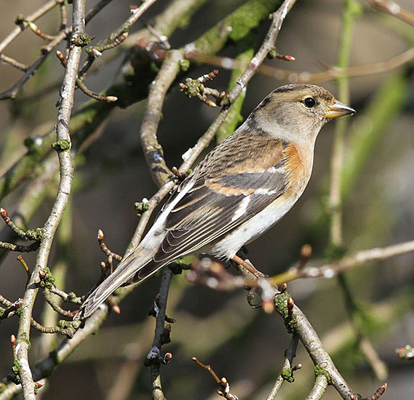 A female Brambling in West Sussex during March 2013