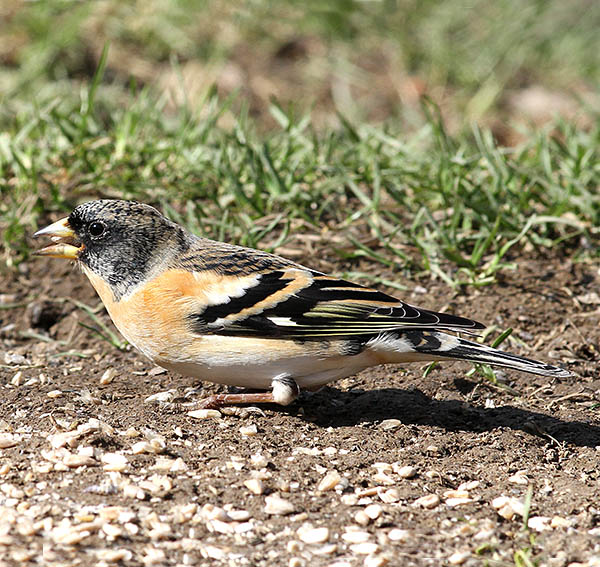 Male Brambling (Fringilla montifringilla), a species which can winter here in large numbers