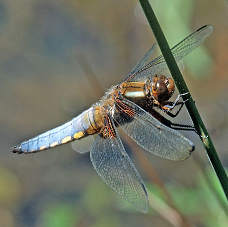 Male Broad-bodied Chaser (Libellula depressa) dragonfly at a garden pond