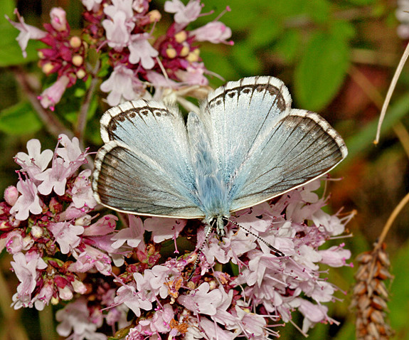 The Chalkhill Blue (Polyommatus coridon) is a Species of Conservation Concern