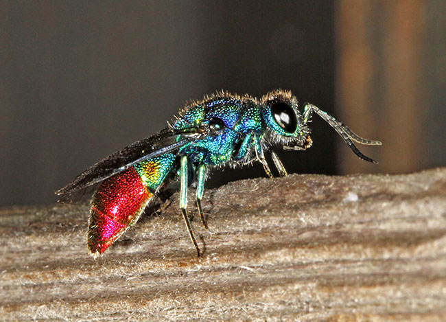 The jewel wasp Chrysis fulgida, which parasitises the solitary wasp Symmorphus crassicornis