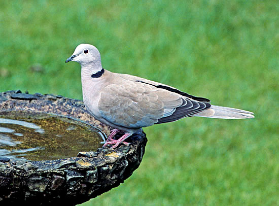 Collared Doves (Streptopelia decaocto) have colonised all western Europe