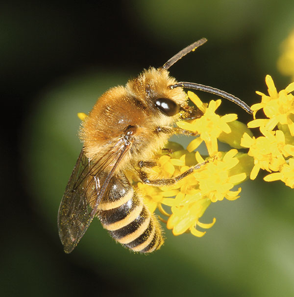 Male Colletes hederae visit many plants to gather nectar