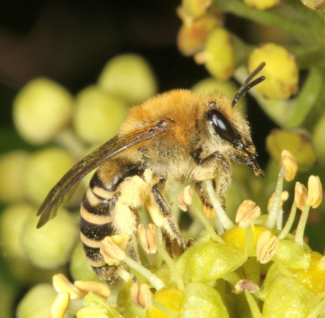 Female Colletes hederae collecting pollen