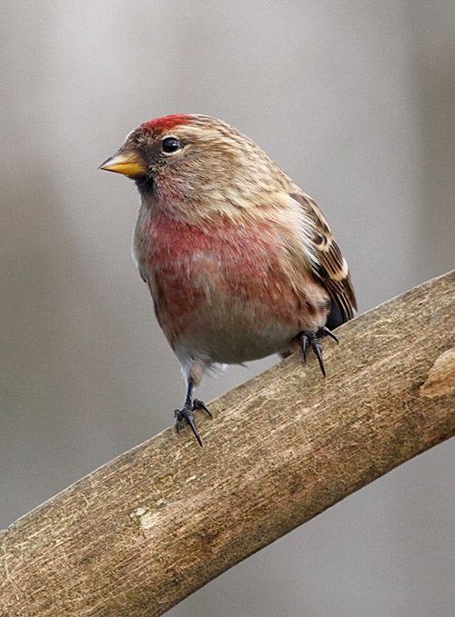 Alder provides winter feeding for mixed flocks of finches including the dashing Lesser Redpoll