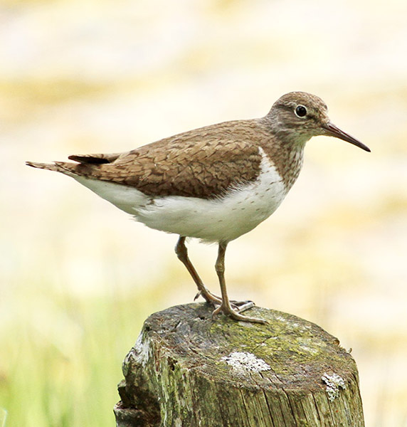 Common Sandpipers (Tringa hypoleucos) pass through in spring and autumn