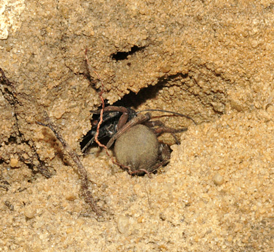 A successful conclusion to a lengthy process as the spider is pulled into the burrow