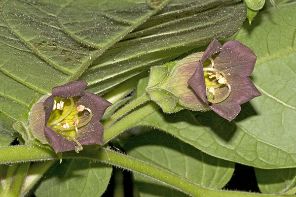 Deadly Nightshade (Atropa belladonna) in flower