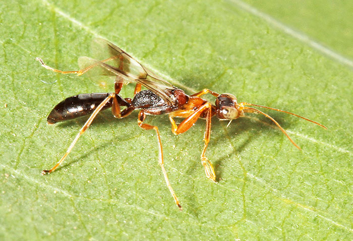 Female dryinid wasp Dryinus collaris, a species with only eight records in Britain