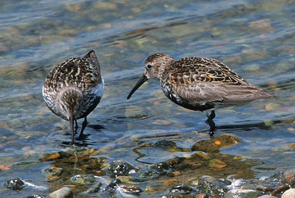Many more Dunlin (Calidris alpina) winter than breed in Britain