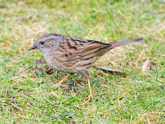 Dunnocks (Prunella modularis) are now a species of conservation concern