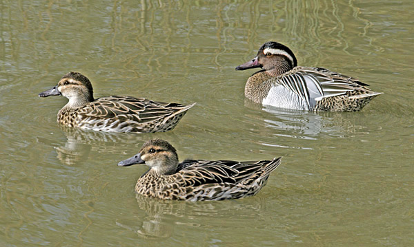 One male and two female Garganey (Anas querquedula), uncommon migratory breeders photographed at WWT Arundel