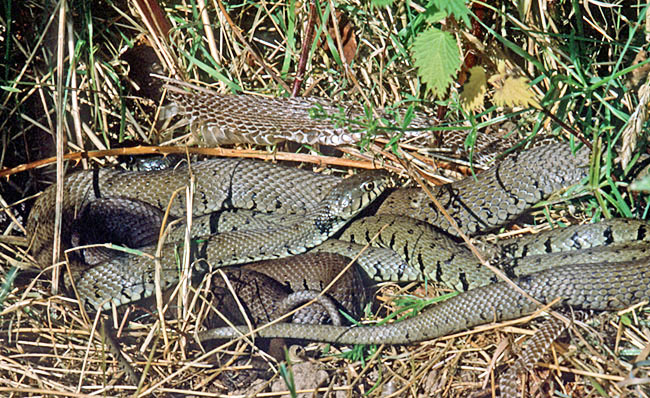 An entwined mass of Grass Snakes warming up in the early-morning sun