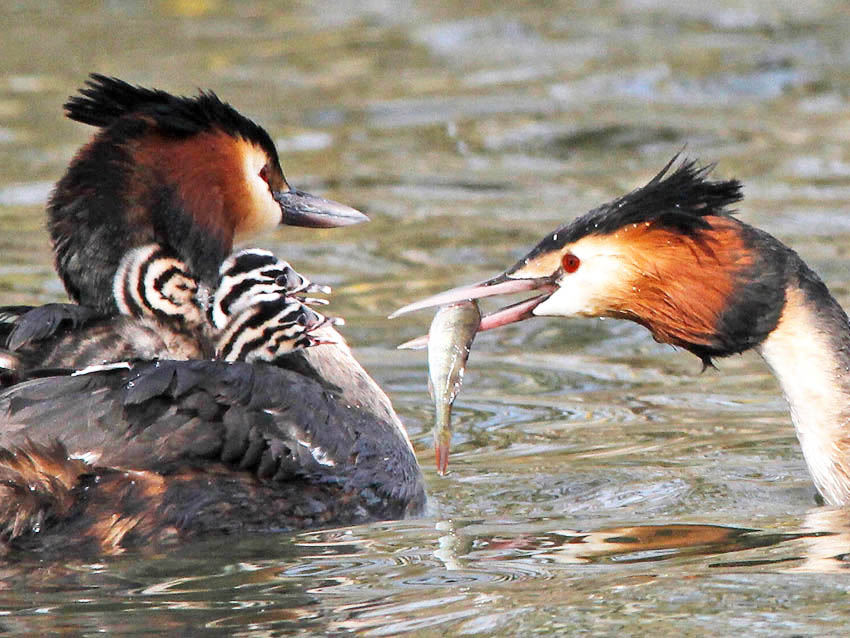 Great Crested Grebes (Podiceps cristatus) have recovered dramatically in numbers
