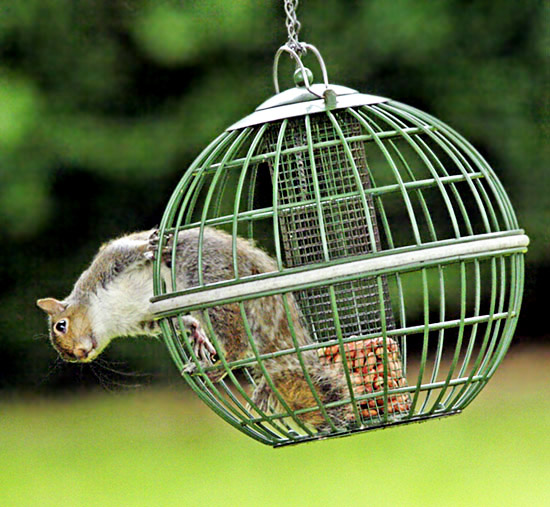 Exiting the squirrel-proof feeder with relative ease