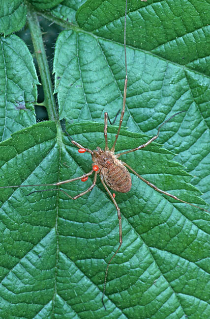 Harvestmen are prone to attack by mites