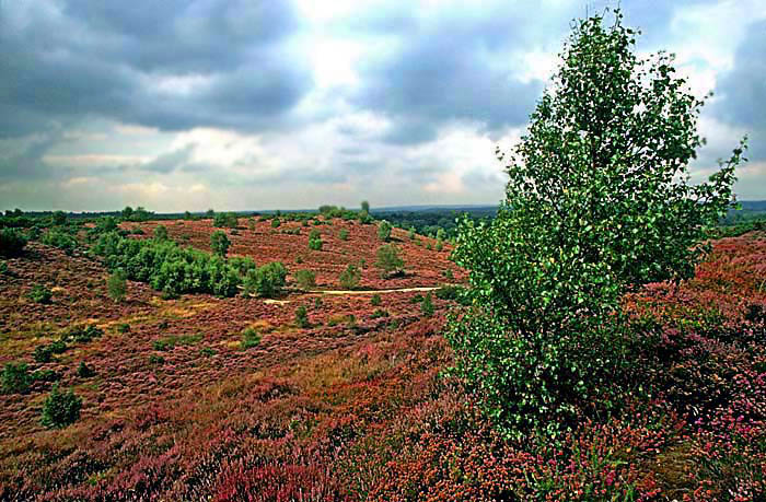 Thursley Common National Nature Reserve before the 2006 fire
