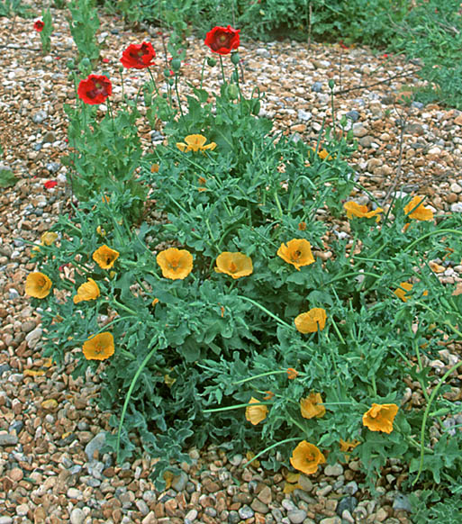 Yellow Horned Poppy (Glaucium flavum) is found only on shingle