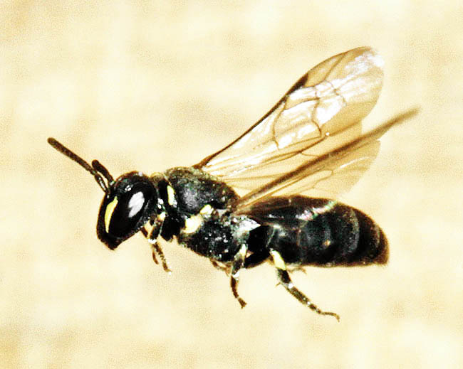 A typically small, though chunky, Hylaeus communis female heading for her nest in a brick