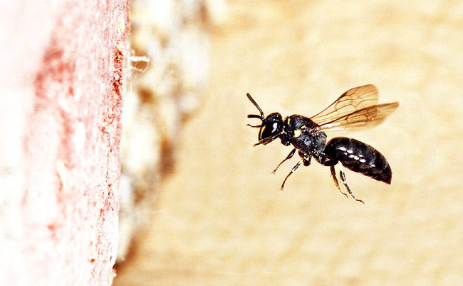Hylaeus communis female flying towards her nest in a drilled brick in May 2011