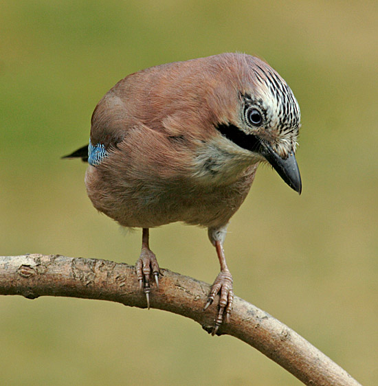 Adult Jay (Garrulus glandarius) waiting to grab some peanuts from a table