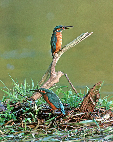 Kingfishers (Alcedo atthis) sparring