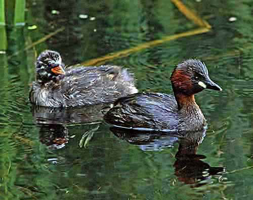 Female Little Grebe with one of her chicks