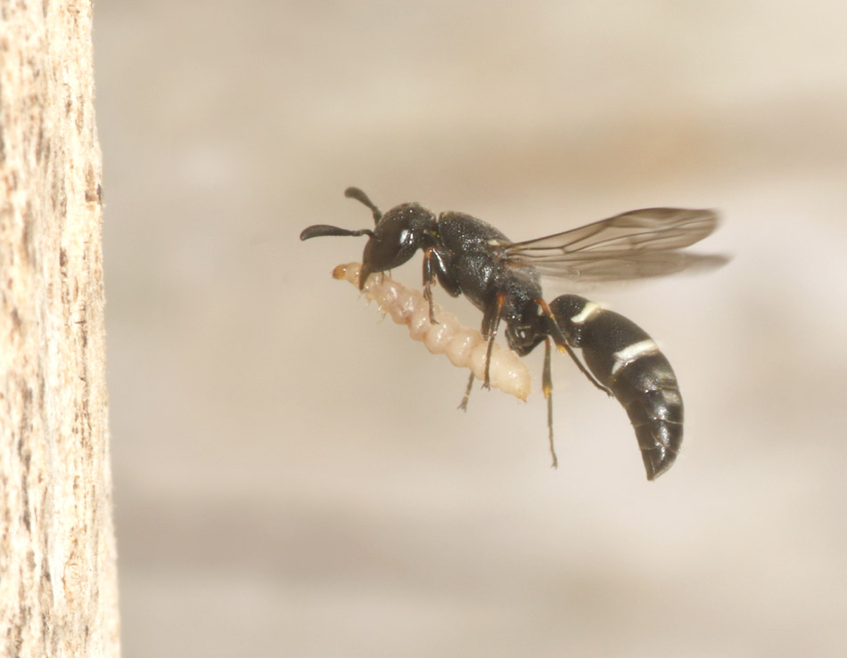 Microdynerus exilis (Small Mason Wasp) heading for her nest in dead wood with a weevil larva, June 2020