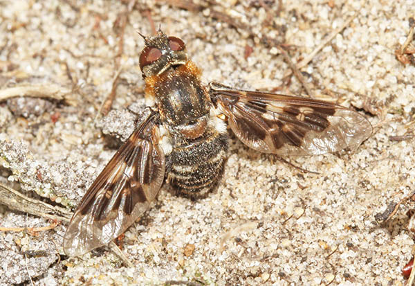 Mottled bee-fly (Thyridanthrax fenestratus) gathering sand on the abdomen to aid egg laying
