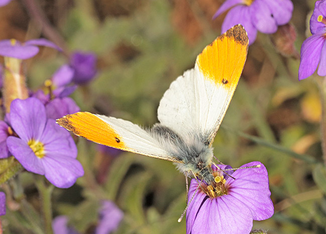 Male Orange Tip (Anthocharis cardamines) on Aubretia