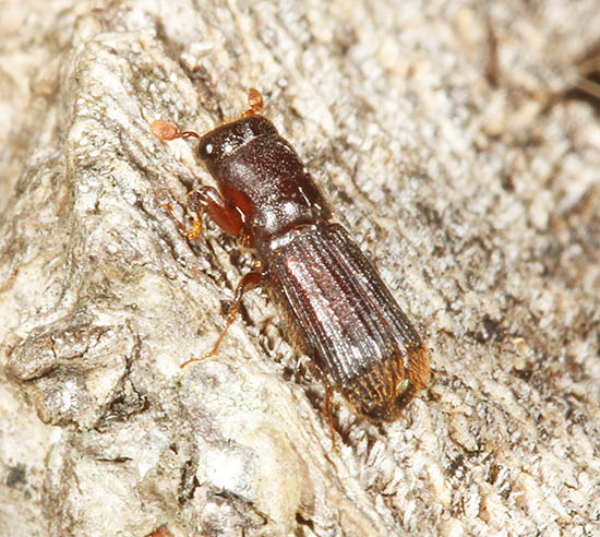 The Oak Pinhole-borer (Platypus cylindrus) is commoner than it used to be