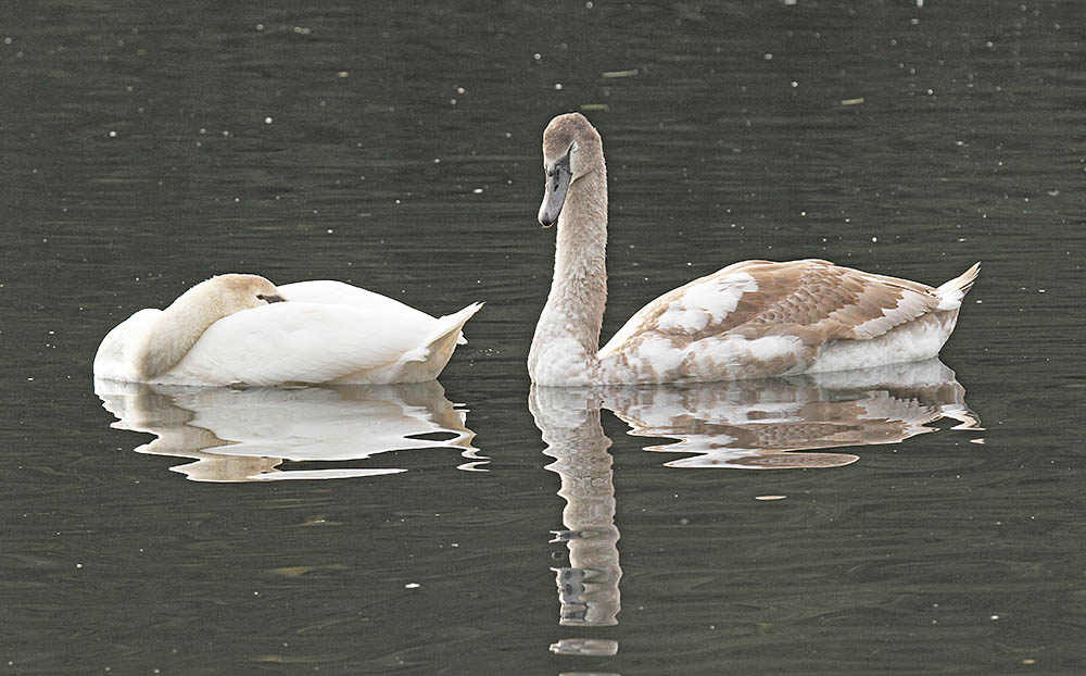 A 'Polish' Swan cygnet with normal-coloured sibling