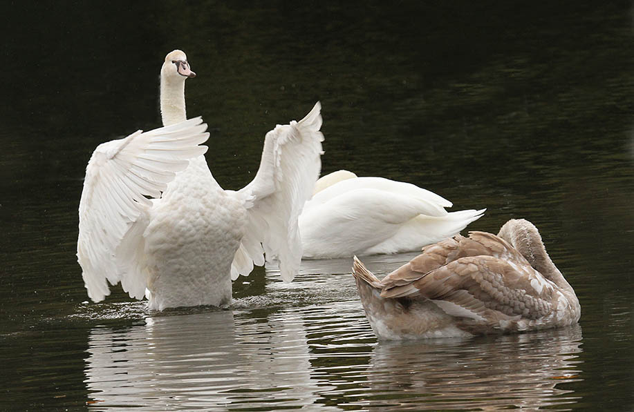 'Polish' Swan cygnet flapping wings alongside adult and normal-coloured sibling
