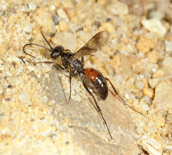 Didineis lunicornis is a scarce species associated usually with clay soil