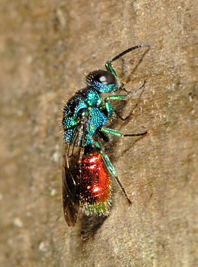 Pseudomalus auratus is one of the commoner ruby-tail wasps