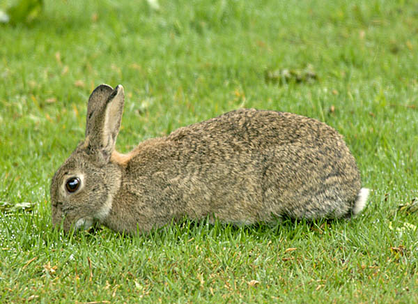 Rabbit (Oryctolagus cunniculus) munching on a lawn