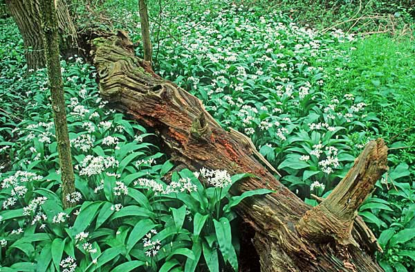 Ramsons or Wood Garlic (Attium ursinum) cover moist woodland floors in spring