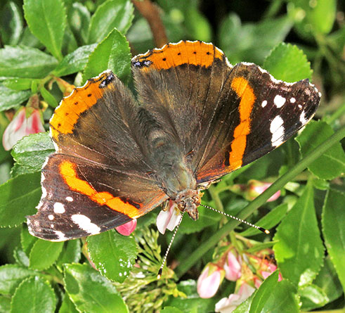 This Red Admiral (Vanessa atalanta) almost certainly overwintered in Surrey