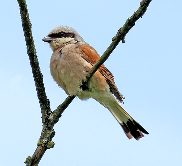 A male Red-backed Shrike photographed in Poland