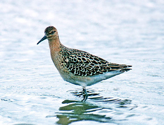 Ruff (Philomachus pugnax) are nothing like so numerous as they used to be