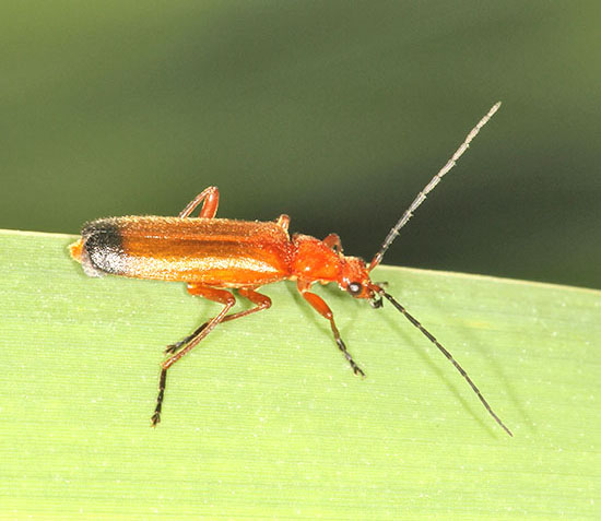 The Common Red Soldier Beetle (Rhagonycha fulva) can be prolific