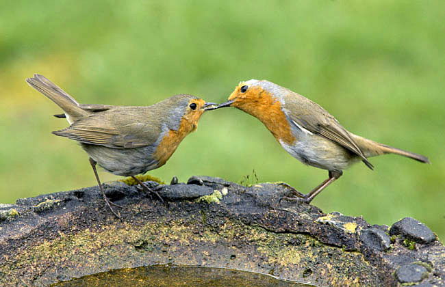 Robins (male right) are enthusiastic courtship feeders